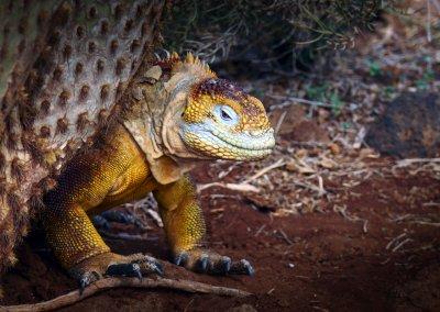 Baja Desert Iguana
